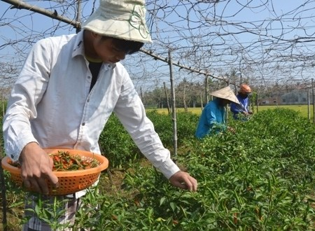 Quang Ngai farmers earn high profits as chili pepper prices soar hinh anh 1