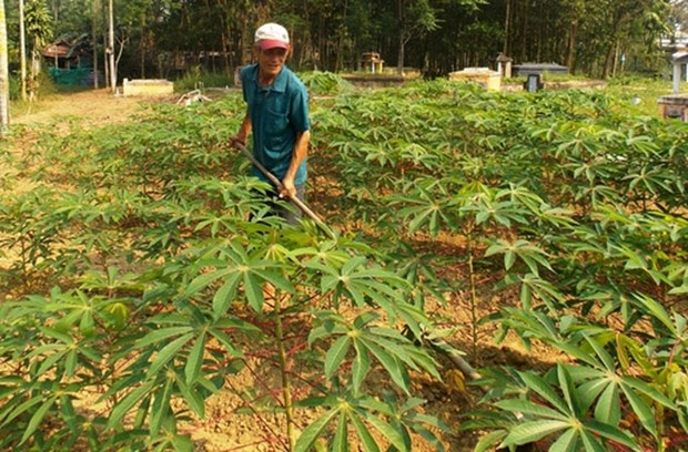 Japan helps Vietnam deal with cassava diseases hinh anh 1