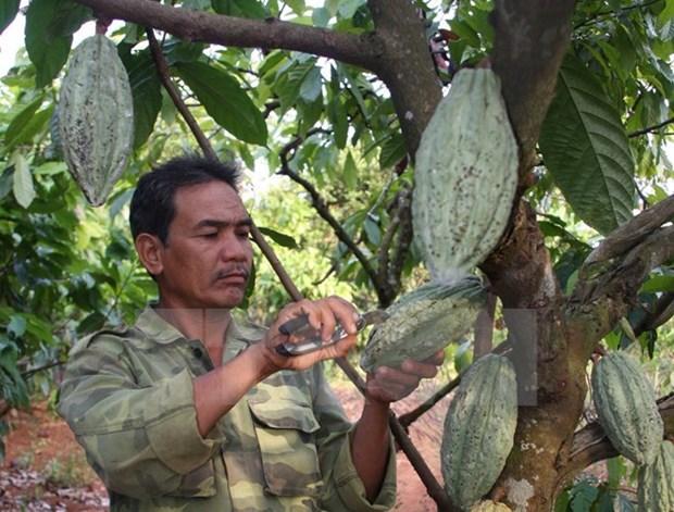 Dong Nai company exports cocoa to RoK, Japan hinh anh 1