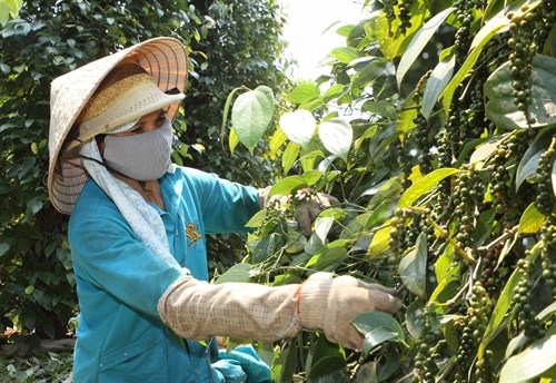 Farmers switch to pepper as coffee prices fall hinh anh 1