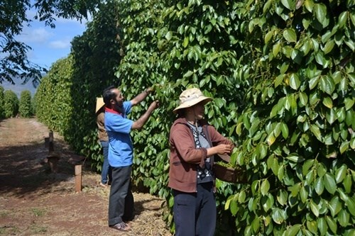 Farmers want pepper futures trading hinh anh 1