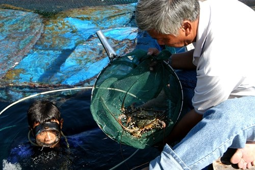 Fishermen target young lobsters hinh anh 1