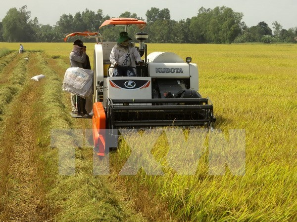 Large-scale rice fields booming hinh anh 1