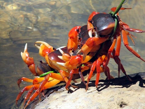 Quang Nam promotes sustainable exploitation of terrestrial crabs hinh anh 1