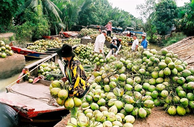 Ben Tre: Coconut growers, firms link up hinh anh 1