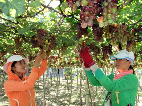 Grapes and Wine Festival 2016 to open in Ninh Thuan hinh anh 1