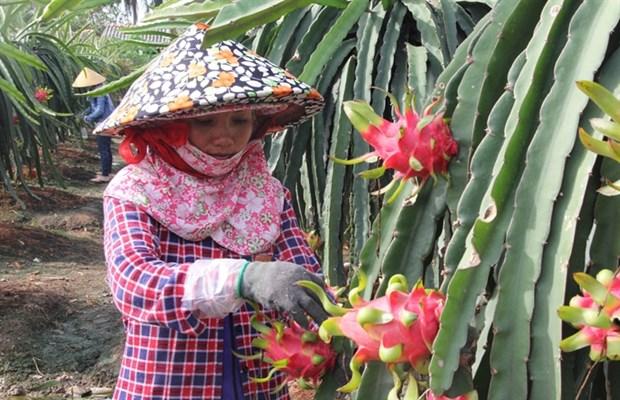 Australia to import fresh Vietnamese dragon fruit hinh anh 1
