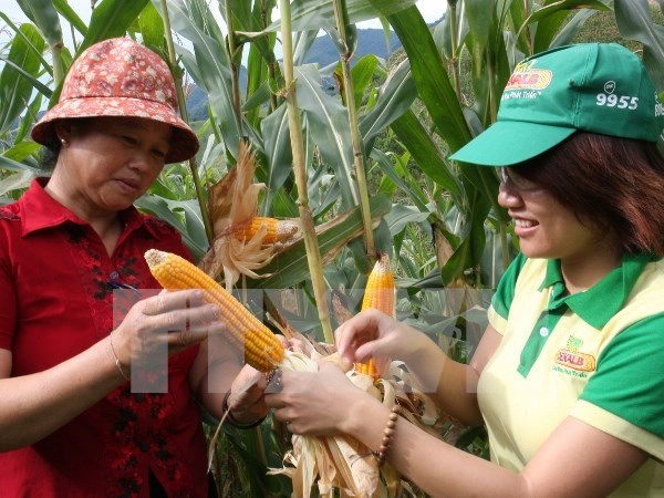 Vietnamese farmers urged to shift from rice to corn hinh anh 1