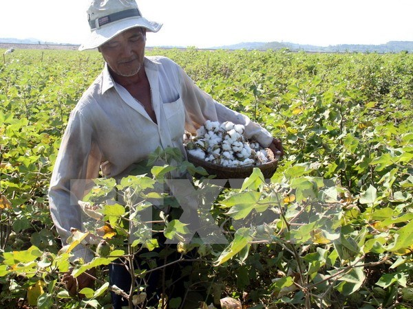Vietnam to suspend raw cotton import from Ghana hinh anh 1