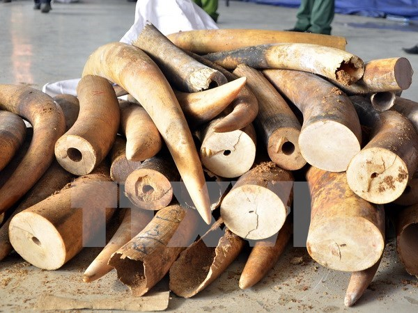 Customs uncover over 700kg of ivory transported by sea hinh anh 1