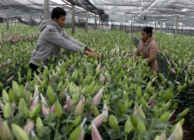 For HN gardeners, lilies are beautiful business hinh anh 1