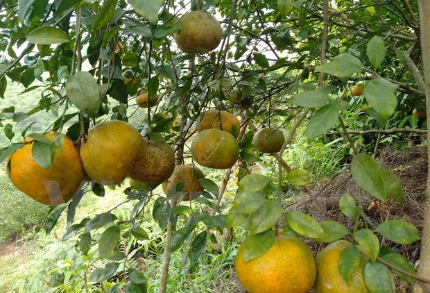 """""""Bu"""" orange a key agricultural product of Huong Son hinh anh 4"""