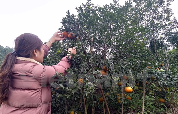 """""""Bu"""" orange a key agricultural product of Huong Son hinh anh 1"""
