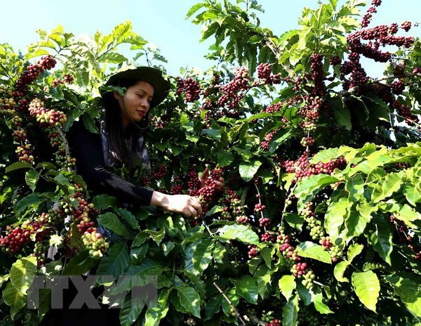 Domestic coffee exporters expect a promising year hinh anh 1