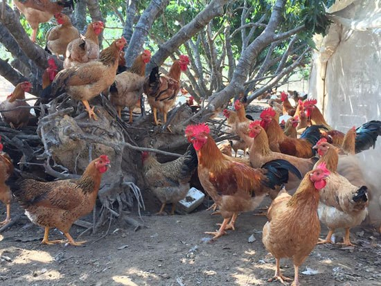 Bac Giang moves to improve Yen The hill chicken trademark hinh anh 2