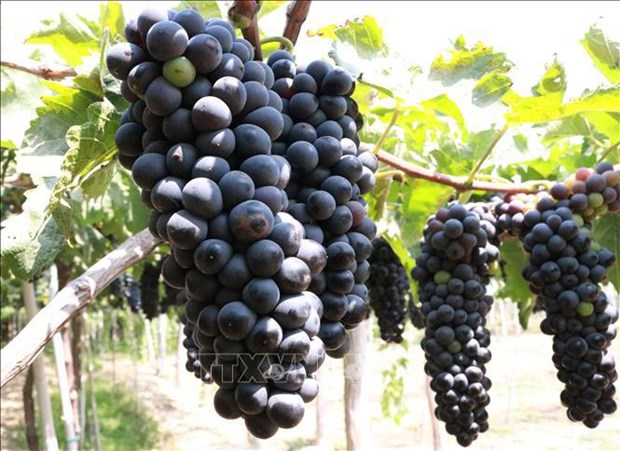 Ninh Thuan develops more grape varieties for making wine hinh anh 2