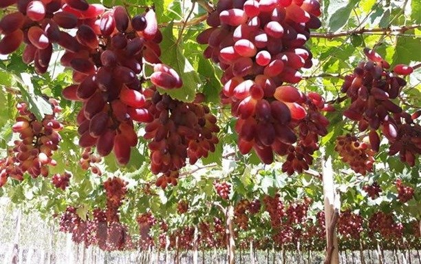 Ninh Thuan develops more grape varieties for making wine hinh anh 1