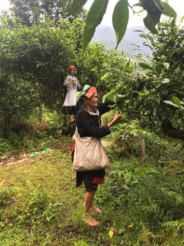 Ethnic minorities make real deal from tea production hinh anh 2