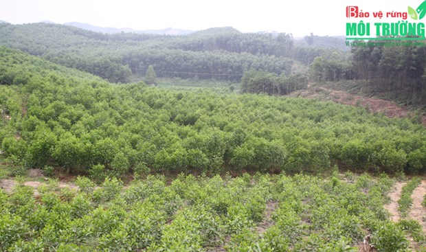 Vinh Phuc develops sustainable forestry economy hinh anh 1