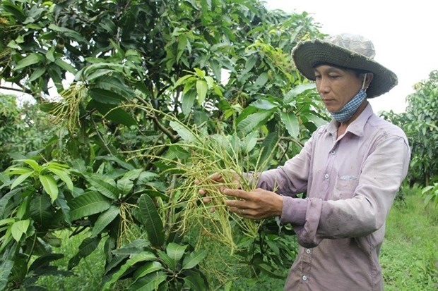 Poor harvest predicted for off-season mangos hinh anh 1