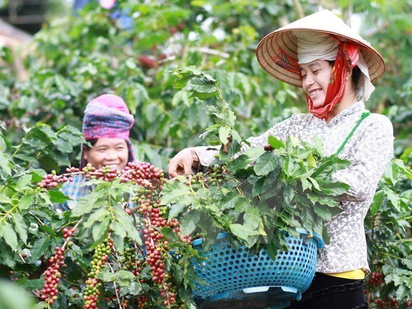 Central Highlands: high coffee prices offset declining output hinh anh 1
