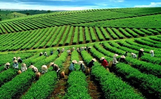VN tea exporters enjoy record year hinh anh 1