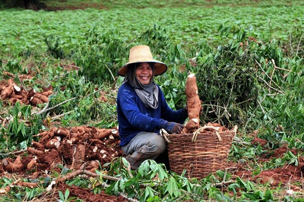 Thailand aims to become region's top cassava producer hinh anh 1