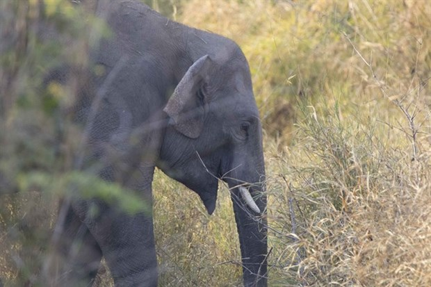 Project to protect Vietnam's elephants kicks off hinh anh 1