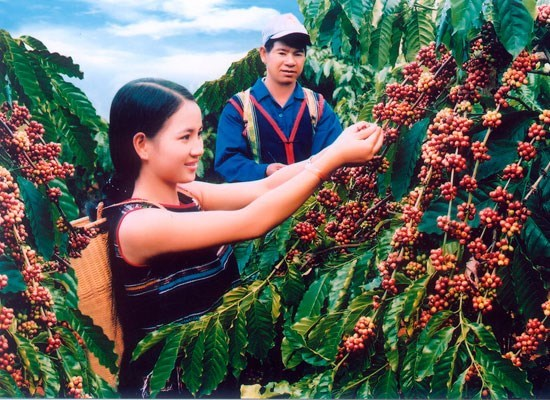 Coffee export reaches 1.79 million tonnes in 2016 hinh anh 1