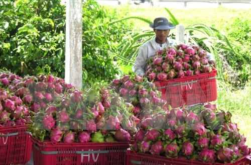 Australia approves in principle import of Vietnam's dragon fruit hinh anh 1