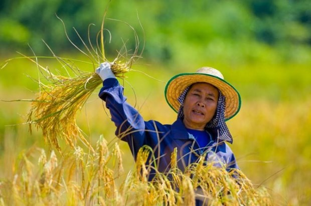 Thailand promotes large-scale rice farms hinh anh 1