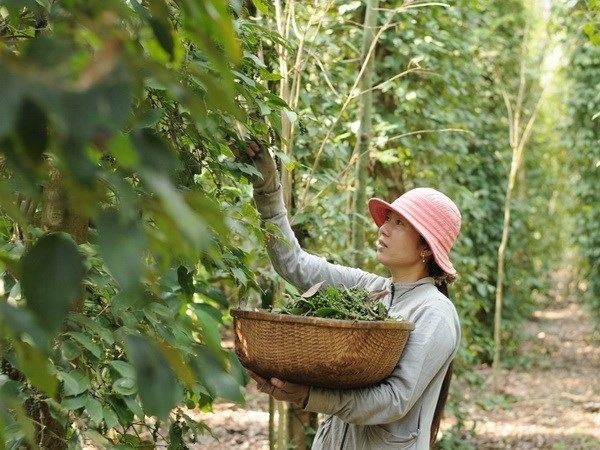 Pepper-based ecotourism promoted in Phu Quoc hinh anh 1