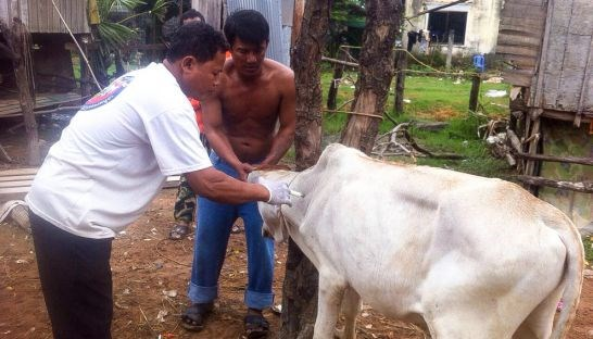 Foot-and-mouth disease breaks out in Cambodia hinh anh 1