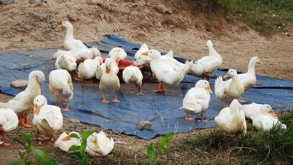 Nghe An province takes action to curb avian flu hinh anh 1