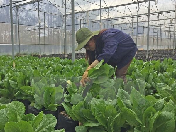 Israel assists Dien Bien farmers in growing safe vegetables hinh anh 1