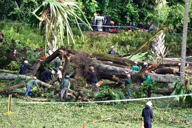 Singapore: heritage tree fall kills one, injures four hinh anh 1