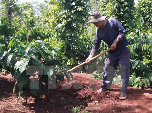 Certified coffee farming improves local income in Dak Lak hinh anh 1