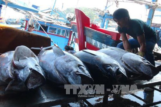 Vietnamese tuna loses competitive edge in Japan due to high taxes hinh anh 1