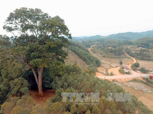 Bac Giang: Ancient tree receives national heritage status hinh anh 1