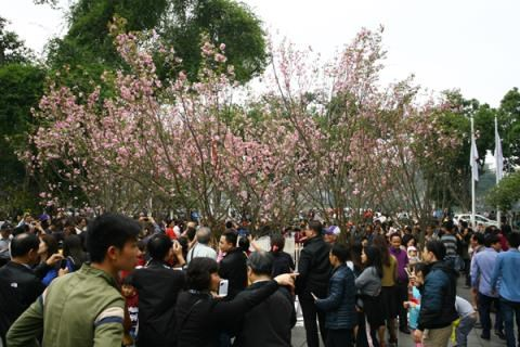 Japanese cherry flowers to be showcased in Hanoi hinh anh 1