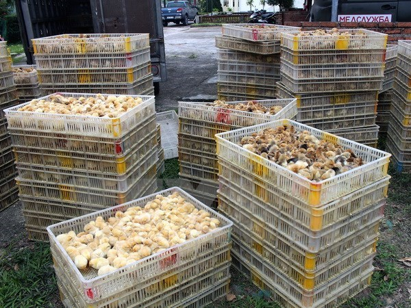 Quang Ninh: 12,000 smuggled chickens culled hinh anh 1