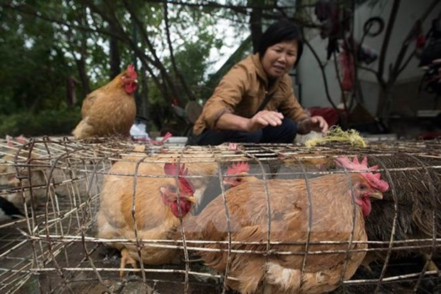 Ministry warns of risk of avian influenza A intrusion in Vietnam hinh anh 1