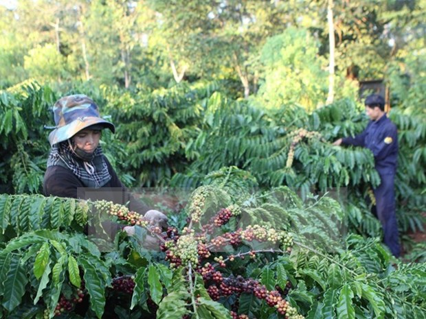Coffee export soars in two months hinh anh 1