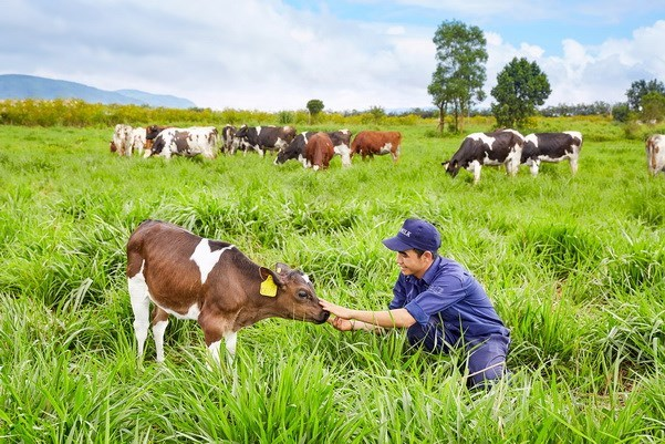 Vietnam, Australia strengthen cow-breeding cooperation hinh anh 1
