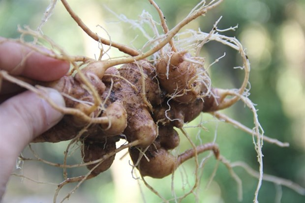 Ginseng festival to be held in Quang Nam hinh anh 1