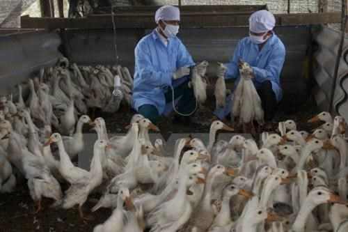 A/H5N1 avian flu spotted in Bac Ninh hinh anh 1