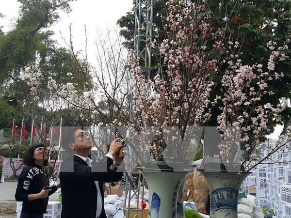 Cherry blossom festival underway in Hanoi hinh anh 1