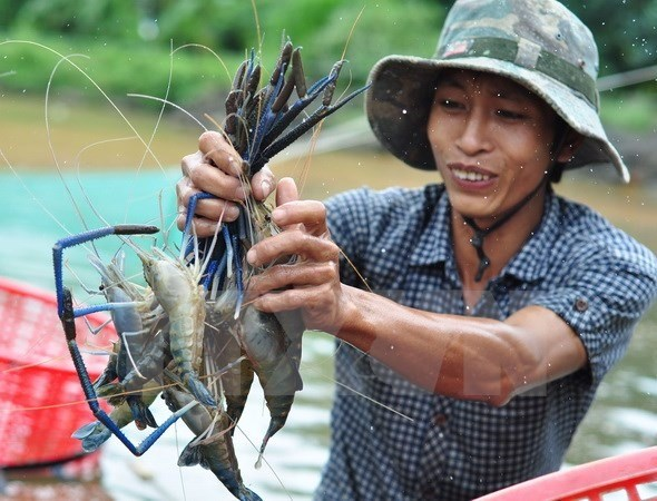 Kien Giang to boost shrimp production in 2017 hinh anh 1
