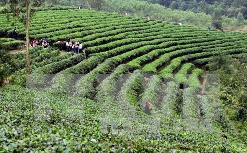 Japanese firm wants to join Vietnam's tea industry hinh anh 1