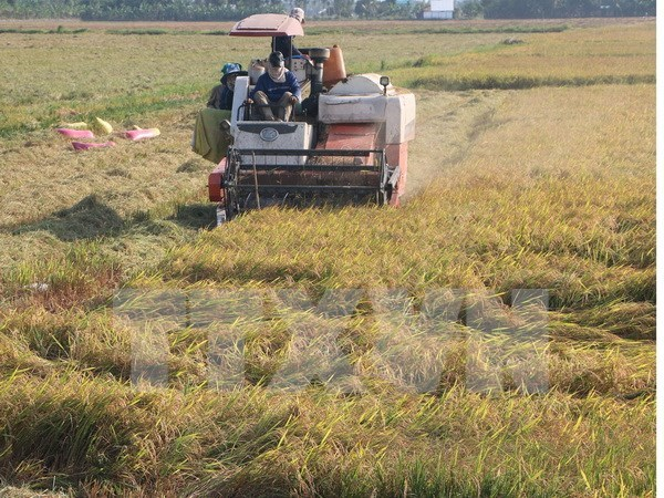 Mekong Delta's rice yield rises in winter-spring crop hinh anh 1